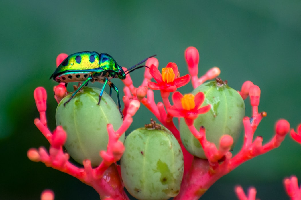 This is an image of a Jewel Bug.