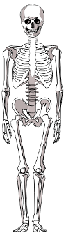 This image shows the skeleton for a human body.